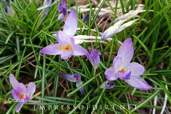 Light purple crocus blooms in spring garden.