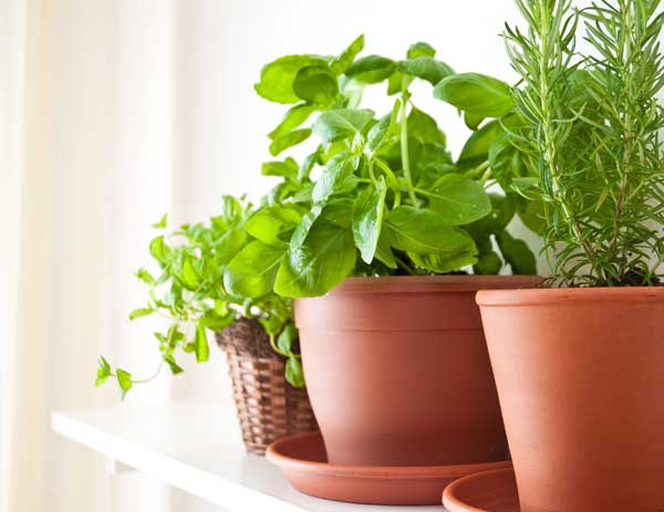 Herbs growing in plastic terra cotta pots indoors.