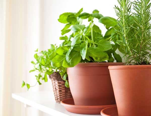 Herbs growing in plastic terra cotta pots indoors.