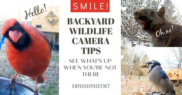 Tips for using a backyard wildlife camera at a bird feeder.