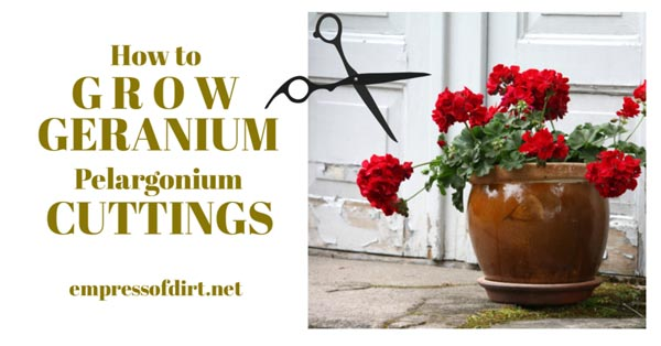 Pot of red geraniums with scissors.