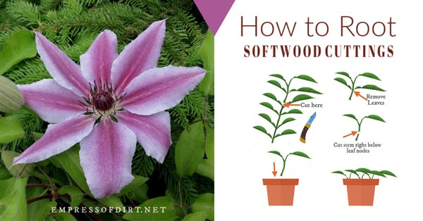 Clematis flower with diagram of softwood cuttings method.