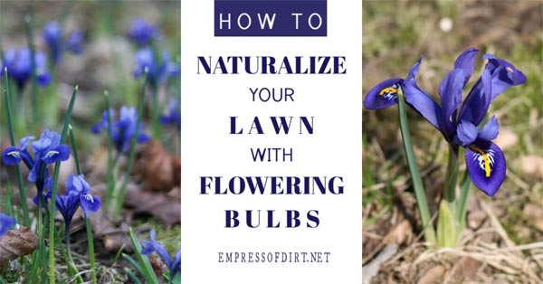 Tips for naturalizing a grass lawn with flowering bulbs.