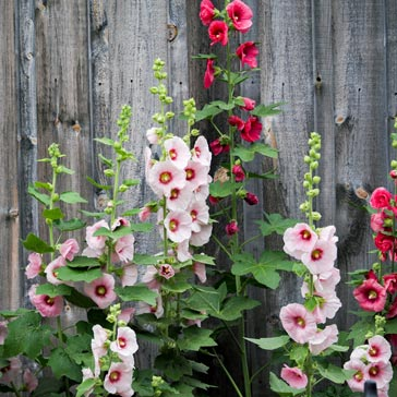 Red, pink, and white hollyhocks.