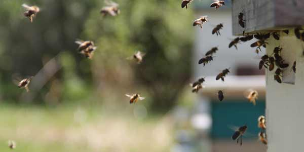 Bees are in decline but backyard hives won't save them