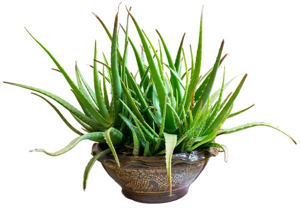 Aloe vera houseplant in brown ceramic pot.