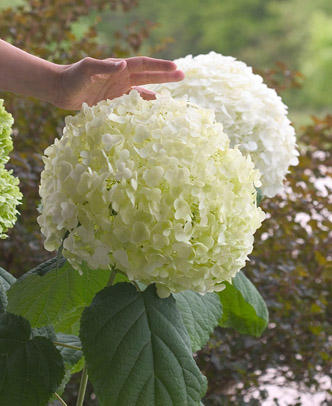 Incrediball® Smooth Hydrangea arborescens by Proven Winners