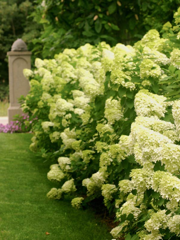 Limelight® Hardy Hydrangea paniculata by Proven Winners