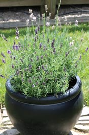 Lavender growing in a pot