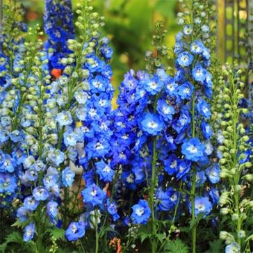 Bright blue flowering delphinium plants.