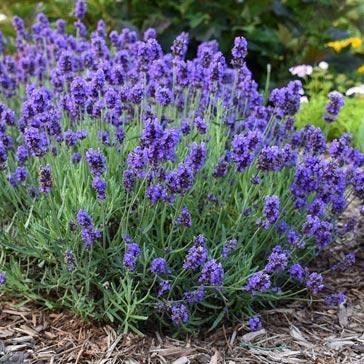 Purple lavender flowers in garden.