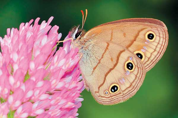 Little Wood Satyr butterfly - image by Shutterstock