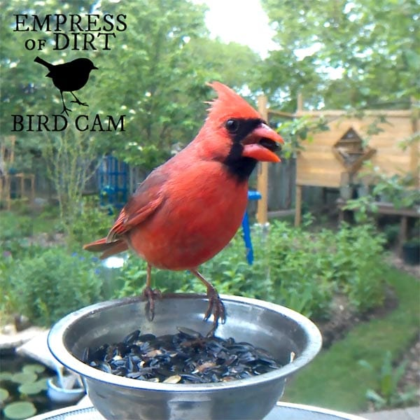 Male cardinal at bird feeder.