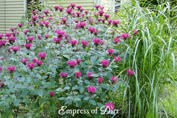 Purple monarda (bee balm) growing in garden with tall grass.