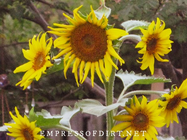 Multi-headed sunflowers with lots of flowers.