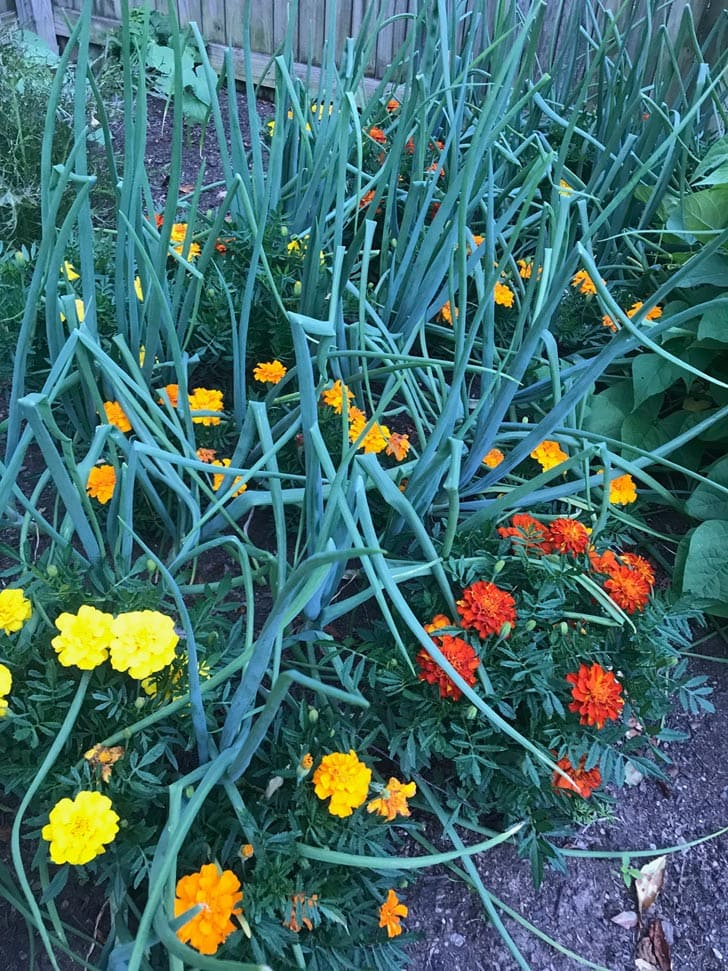 Onions and marigolds growing in garden.