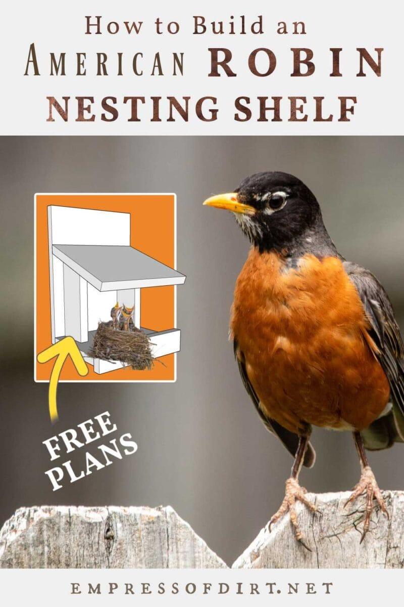 Robin and nesting shelf with nest.