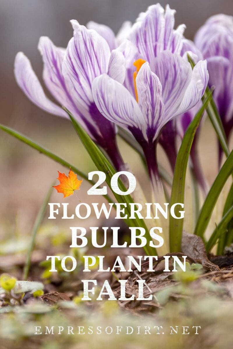 Bulbs to plant in fall for spring flowers.
