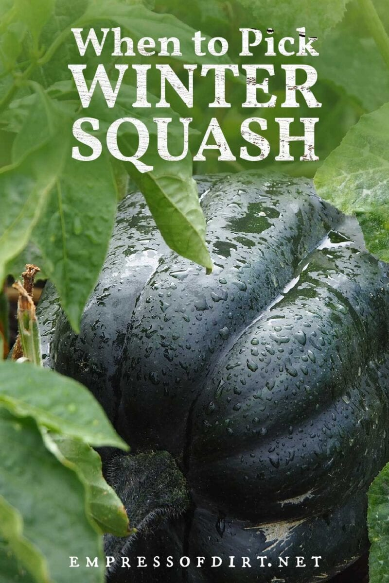 Winter squash in the garden ready for picking.