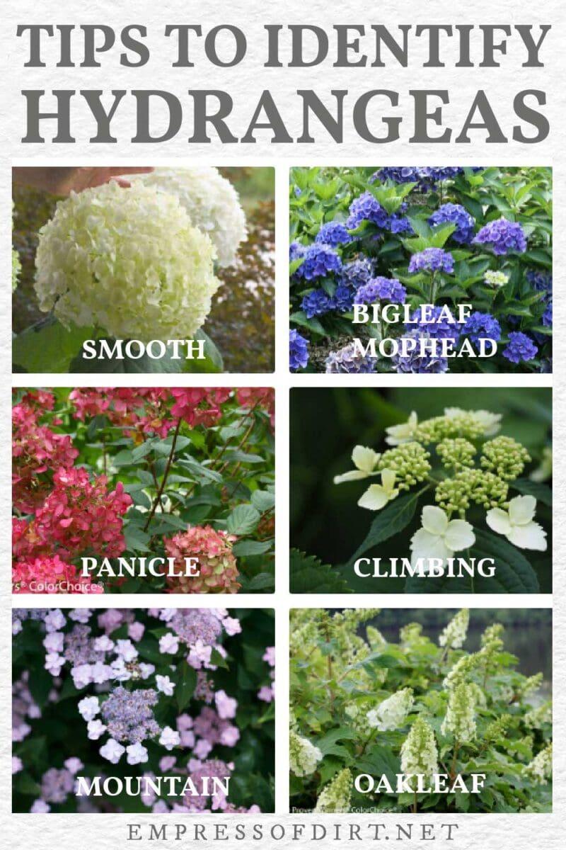 6 popular types of hydrangeas.
