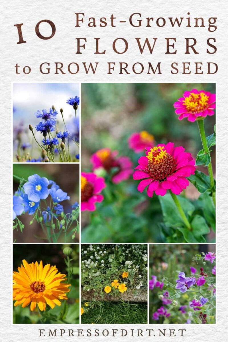 Examples of fast-growing flowers including calendula, flax, and zinnia.