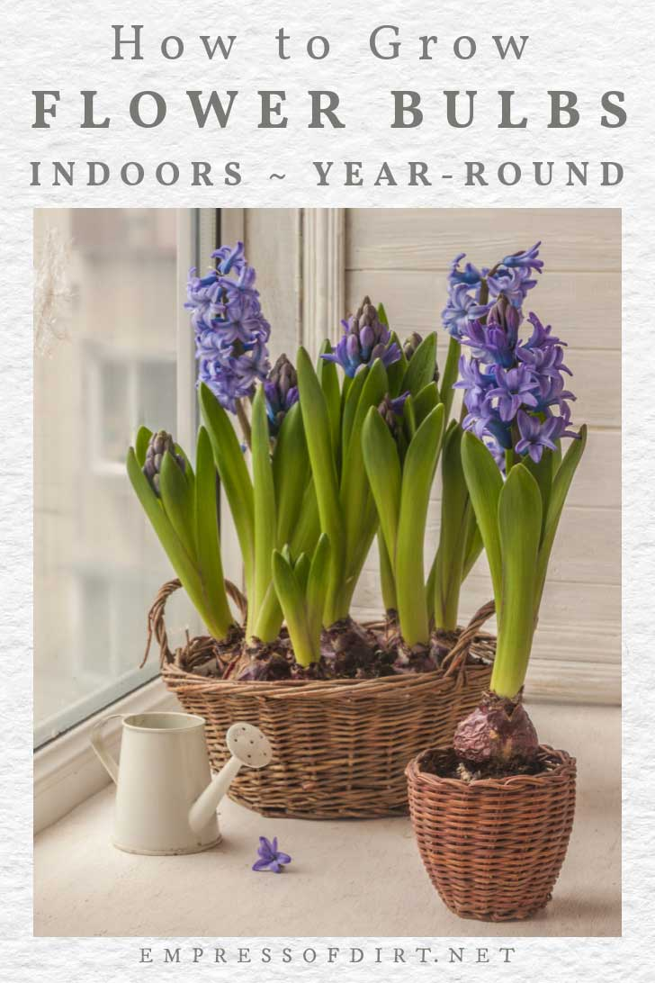 Forcing hyacinth bulbs indoors in pots.