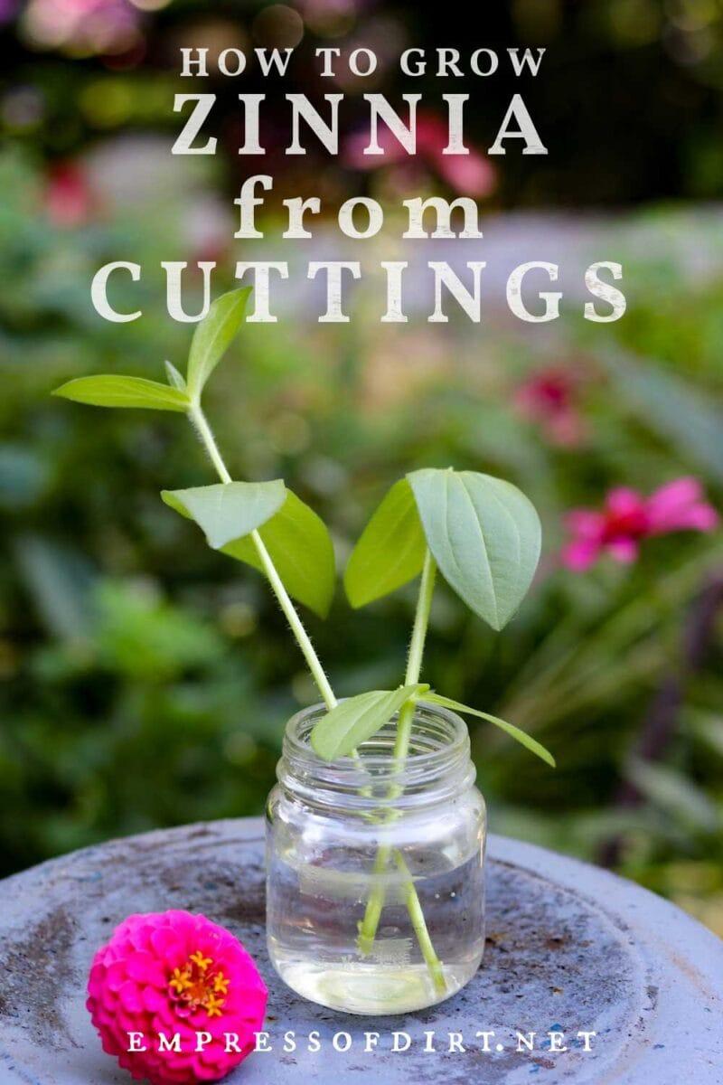 Propagating zinnia cuttings in water.