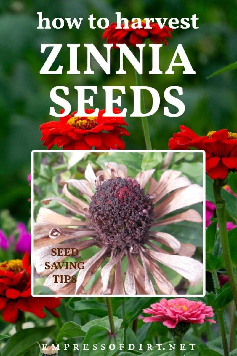 Zinnia flowerhead ready for seed saving.
