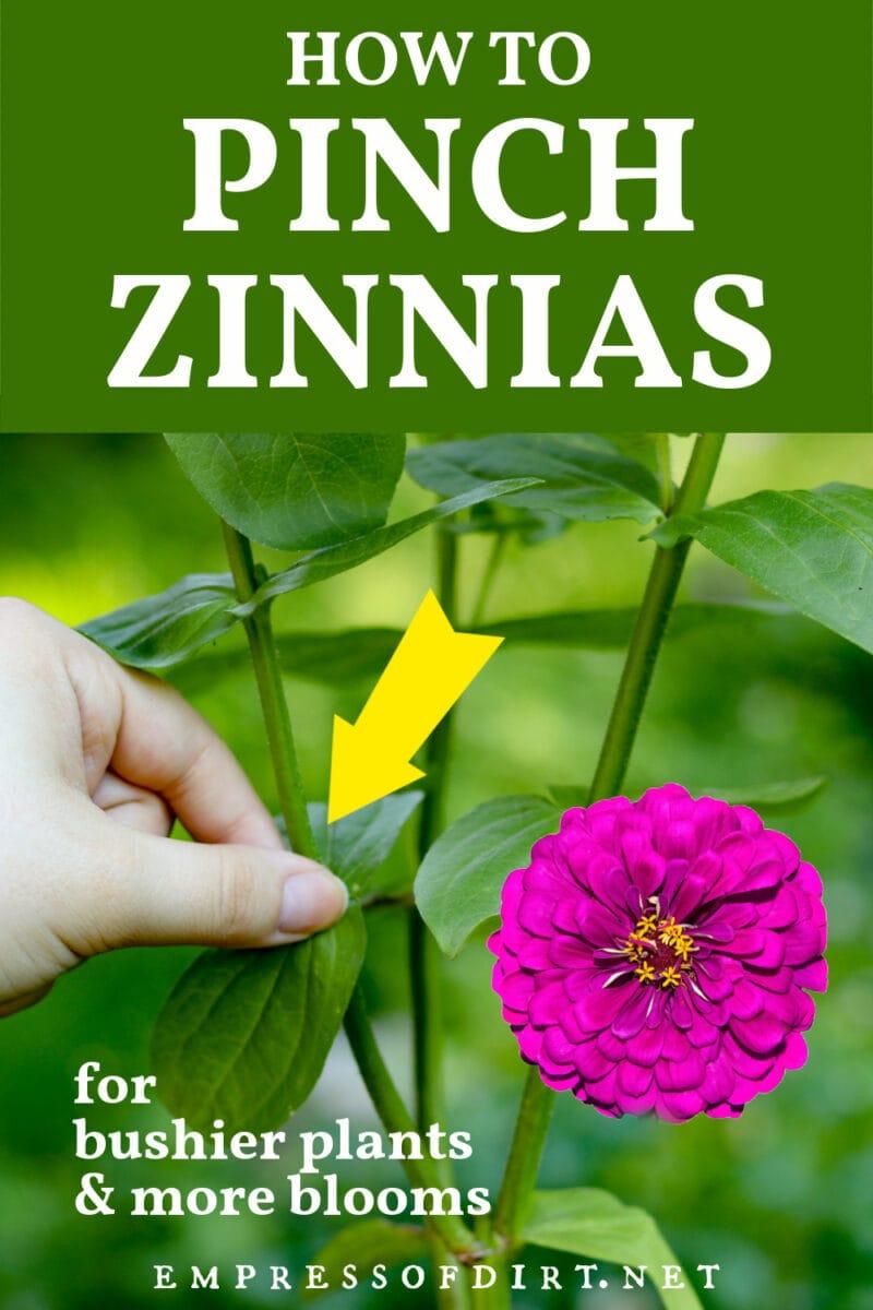 Pinching a zinnia stem.
