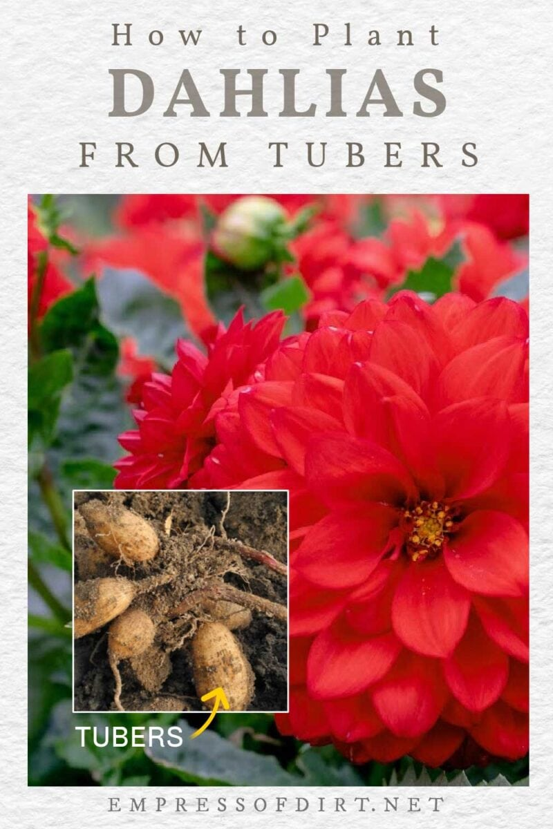 Dahlia flowers and tubers.