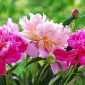 Light and dark pink peony flowers in garden.