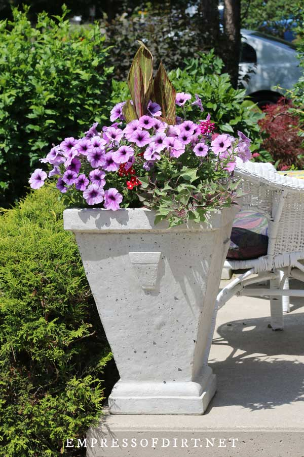 Gray modern plant urn with purple petunias.