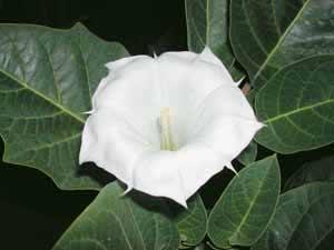 Jimsonweed / thorn apple Datura stramonium