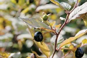 Nightshade Atropa belladonna