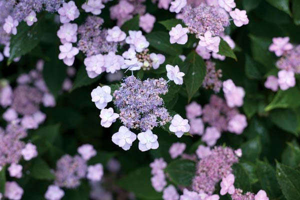 Tiny Tuff Stuff® Mountain Hydrangea serrata by Proven Winners