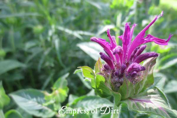 Purple bee balm (monarda) flower in garden.
