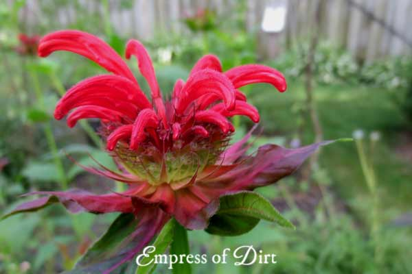 Monarda, or bee balm as we call it, is a member of the mint family, and a popular plant for attracting hummingbirds and butterflies.