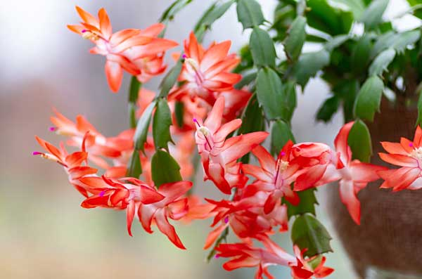 Red Christmas cactus houseplant in bloom.