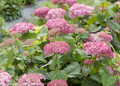 Smooth hydrangea with pink flowers.