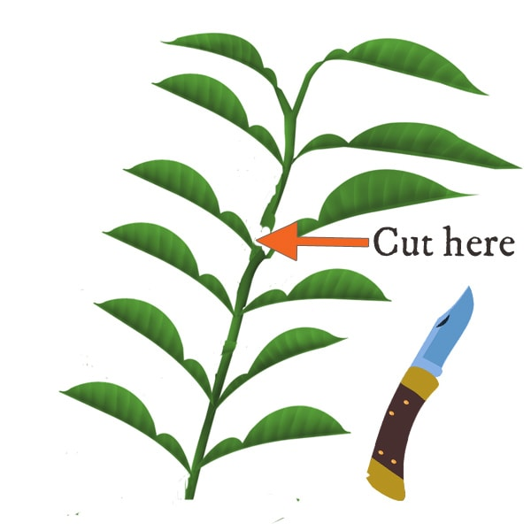 Diagram showing where to take a softwood plant cutting from main plant.