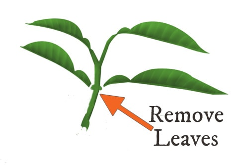 Diagram showing where to remove leaves from softwood plant cutting.