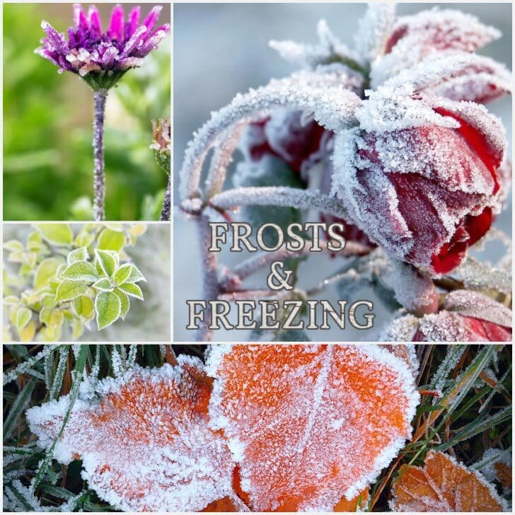 Frost covered leaves and flowers in the garden.