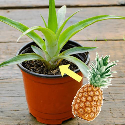 Pineapple houseplant and pineapple fruit.