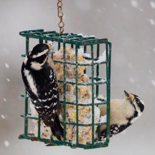 Birds enjoying suet in winter