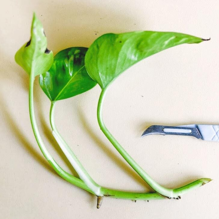 Stem from a pothos plant and a scalpel for taking a cutting.