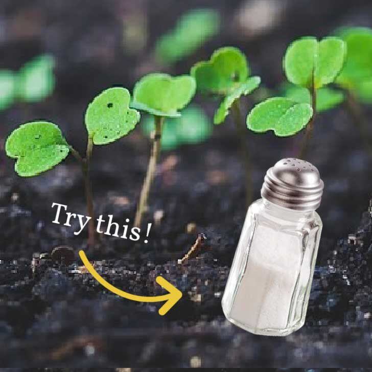 Salt shaker and young plant seedlings in soil.