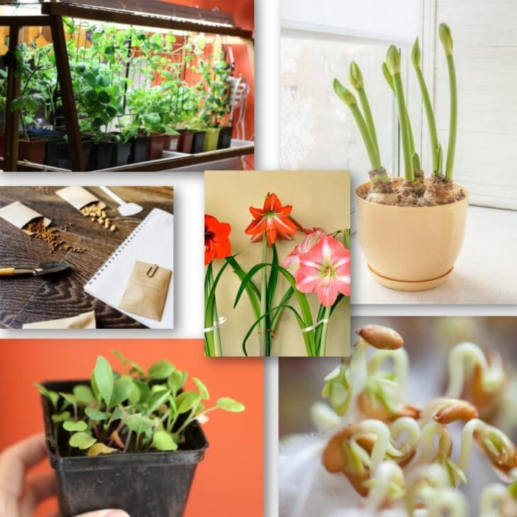 Examples of indoor gardening projects including seed starting and forcing bulbs to flower.