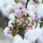 Apple blossoms in the snow.