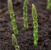 Asparagus sprouting in garden.