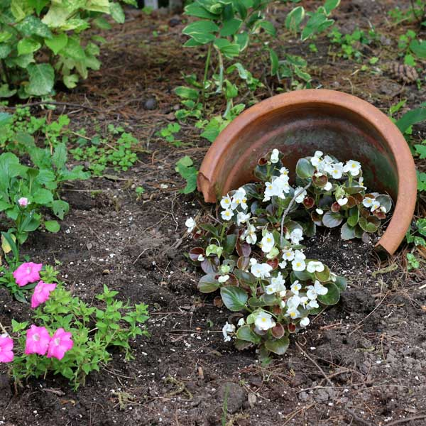 Broken terra cotta pot half buried in garden with white flowers.